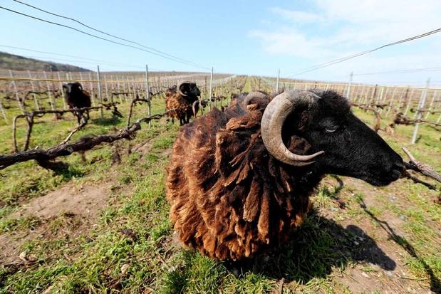 Les moutons d'Ouessant, une méthode de tonte 100 % écolo en Champagne