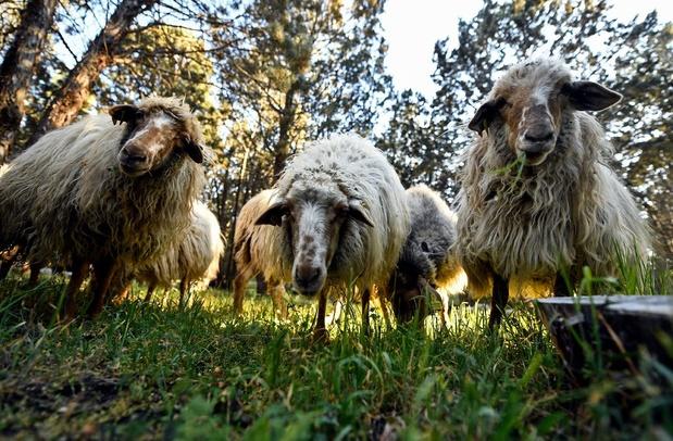 Abattage rituel contre bien-être animal: la justice européenne tranchera