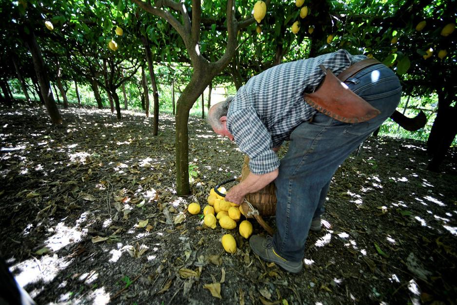 Dans les jardins en terrasse italiens, quelques cultivateurs de citrons résistent, héros d'une agriculture en voie de disparition