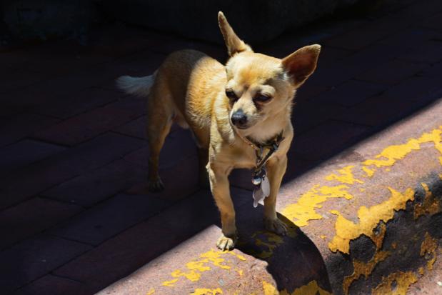 Chihuahua's stelen de harten van hondendieven