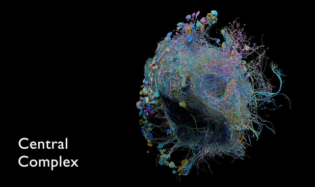 Google réalise une carte extrêmement détaillée du cerveau (d'une drosophile)