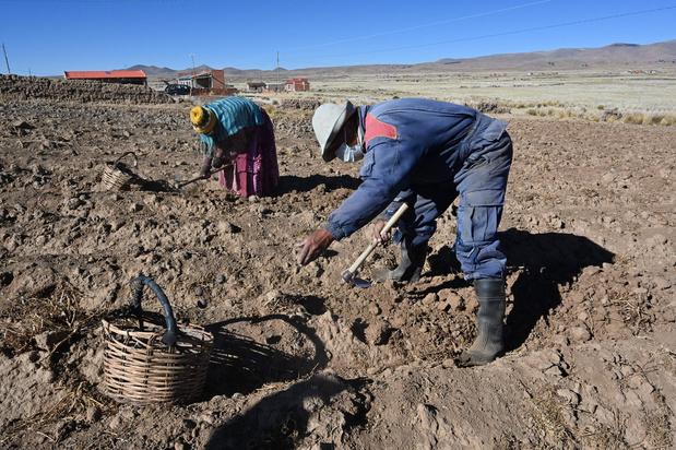 Les chuños ou comment conserver les pommes de terre pendant des siècles