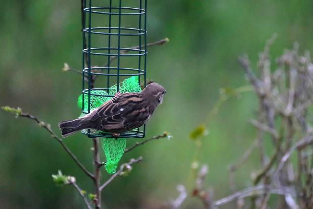 Les oiseaux recensés dans les jardins wallons et bruxellois ce week-end