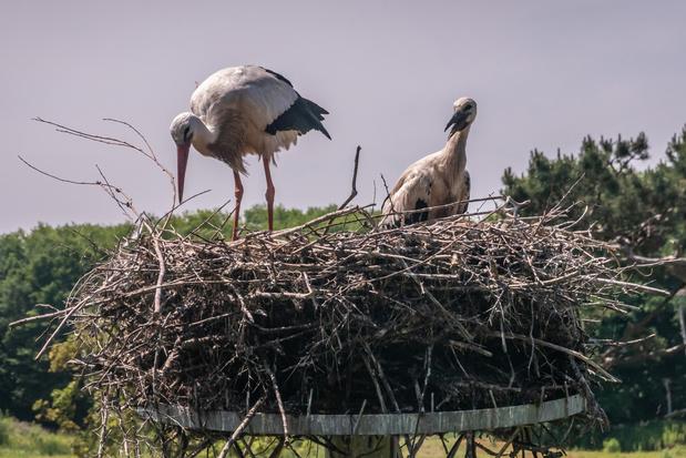 Observez le quotidien des cigognes du parc naturel du Zwin en direct, de chez vous