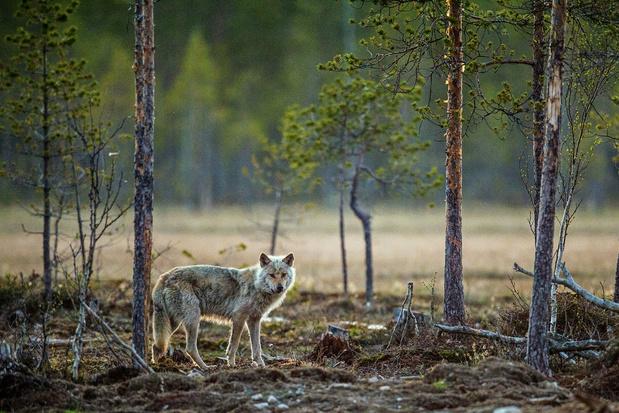 Les loups se multiplient en Belgique