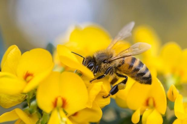 Une nouvelle espèce d'abeille découverte en Wallonie