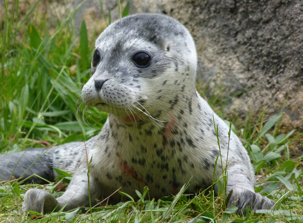 Sea Life redt vier gestrande babyzeehonden