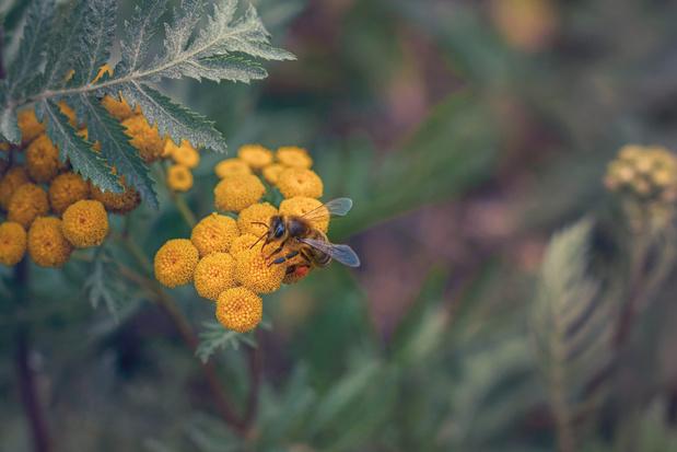 Stadstuintjes zijn essentieel voor bijen