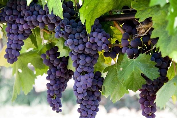 Kwart meer Belgische wijnbouwers in 2020