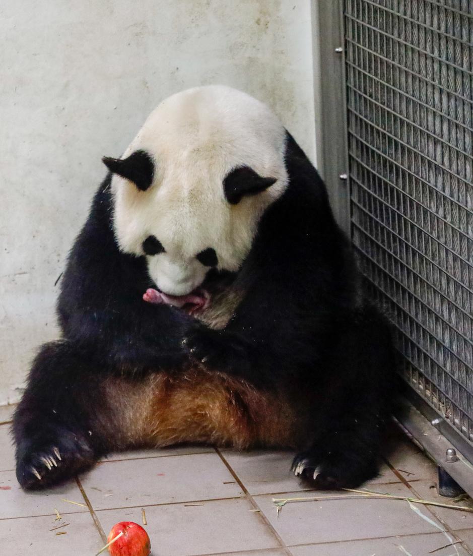 Pairi Daiza annonce la merveilleuse naissance de deux bébés pandas (en images)
