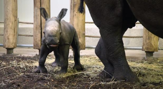 Breedlipneushoorntje komt ter wereld in Nederlandse zoo