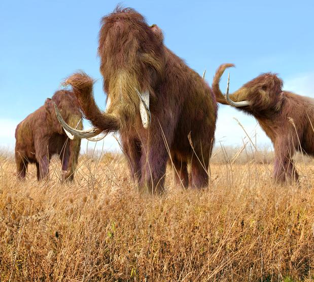 Quand la fonte du pergélisol encourage le commerce d'ivoire... de mammouths