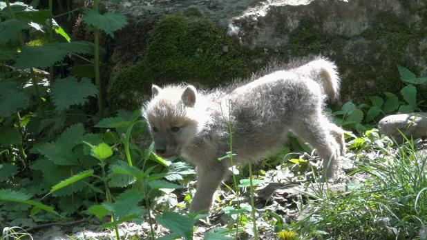 Vier poolwolfjes geboren op het Domein van Han