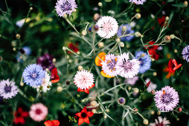 Vilvoorde zaait bloemenweides en vraagt inwoners hetzelfde te doen