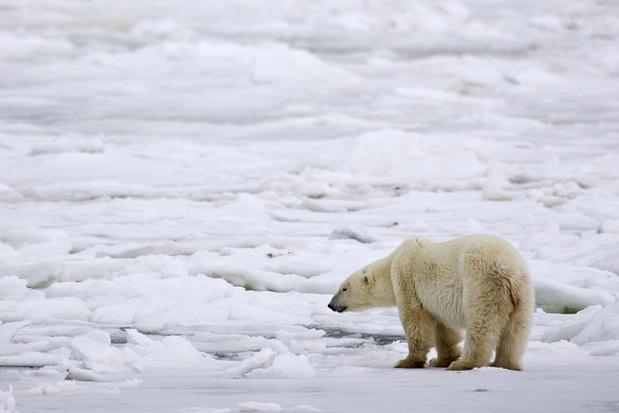 IJsberen dreigen uit te sterven tegen 2100