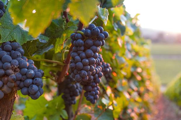 Wandelen tussen de wijnranken: 20 boeren geven rondleiding tijdens Oost-Vlaamse wijntoer