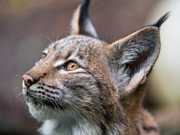 Le lynx, de retour dans nos contrées belges