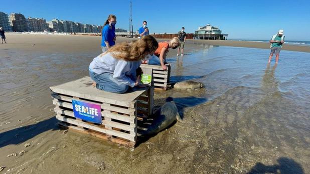 Deux phoques soignés au Sea Life Blankenberge retrouvent la liberté