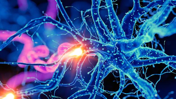 """De differentiatie tot neuronen hangt af van een """"moleculaire schakelaar"""""""