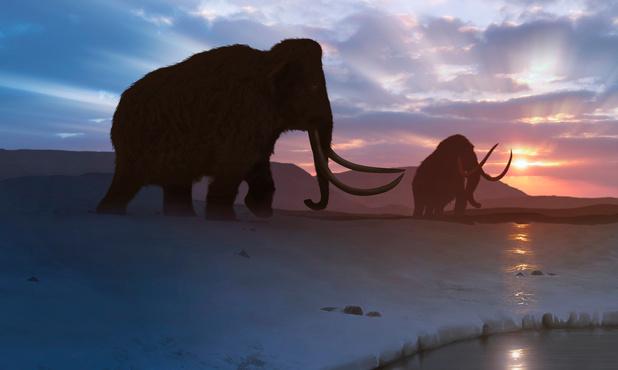 """Des gènes """"brisés"""" responsables de la disparition des derniers mammouths ?"""