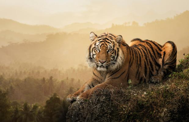 Wereldtijgerdag: hoe dit ijzersterke dier vecht voor zijn bestaan