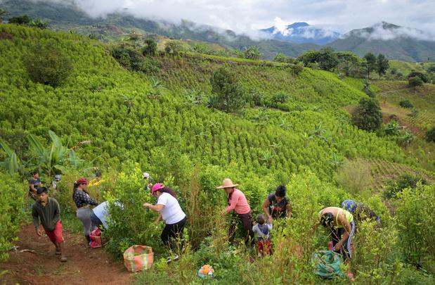 Les petites mains colombiennes de l'économie prospère de la coca