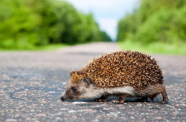 Grâce au confinement, moins d'animaux sont tués sur la route