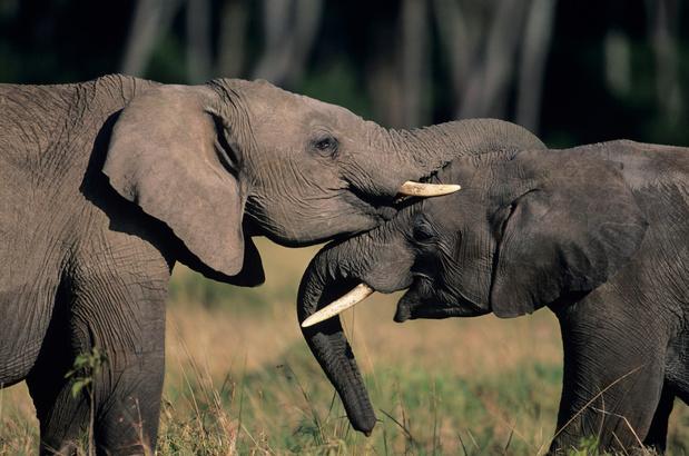 Pairi Daiza et Planckendael s'unissent pour lutter contre l'herpès des éléphants