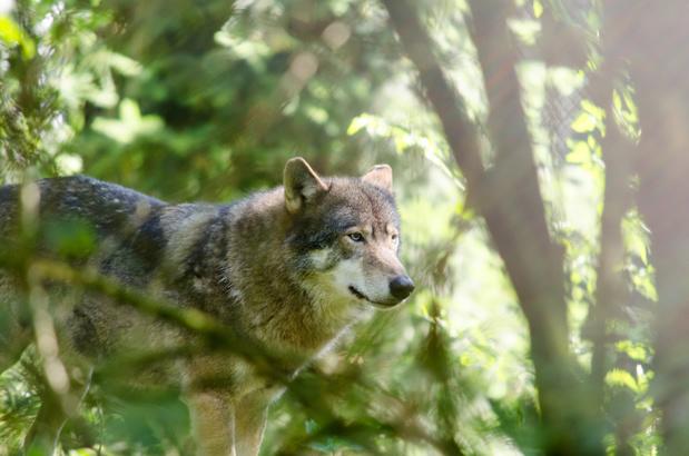 La louve Noëlla repérée dans le Limbourg attend famille