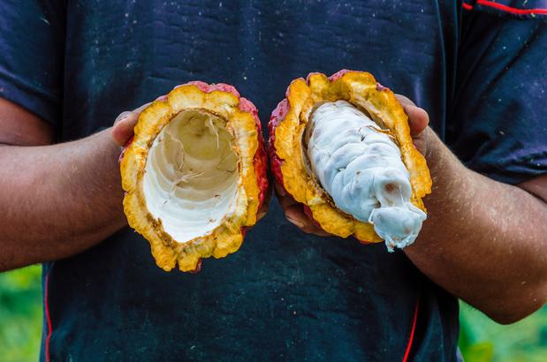 Klimaatverandering doet koffieboeren overschakelen op cacao