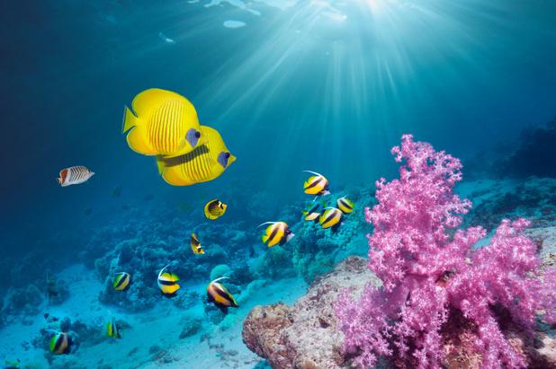 Hittegolven doen koraal in recordtijd afsterven
