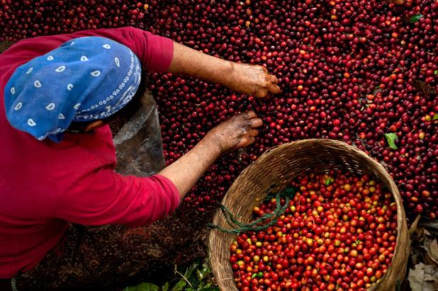 Minder koffie en sinaasappels verwacht door droogte in Brazilië