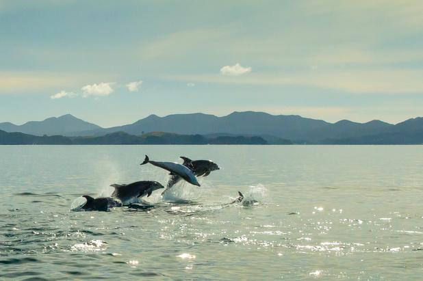 Nieuw-Zeeland verbiedt zwemmen met dolfijnen in toeristische Bay of Islands