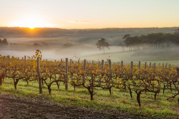 Experimentele wijngaard in Flémalle moet sector voorbereiden op de toekomst