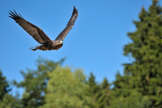 Un aigle impérial a été aperçu pour la première fois en Belgique