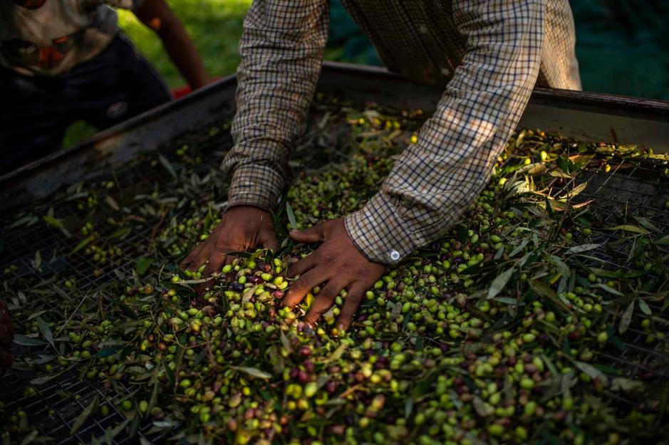 Olives: l'or vert de la Grèce