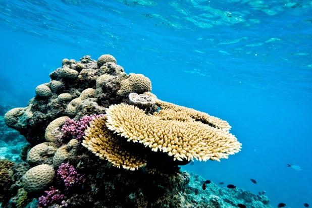 Des scientifiques font se reproduire du corail en laboratoire