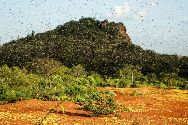 'Sprinkhanenplaag mag in de race tegen het coronavirus niet vergeten worden'