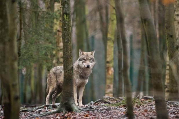 Le nouveau loup récemment repéré en Belgique est une femelle