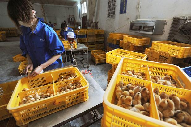 China meldt eerste menselijke besmetting met vogelgriepvariant H10N3