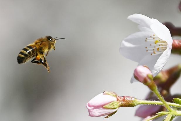 Europees Gerechtshof handhaaft verbod op bijenvergif na beroep van Bayer