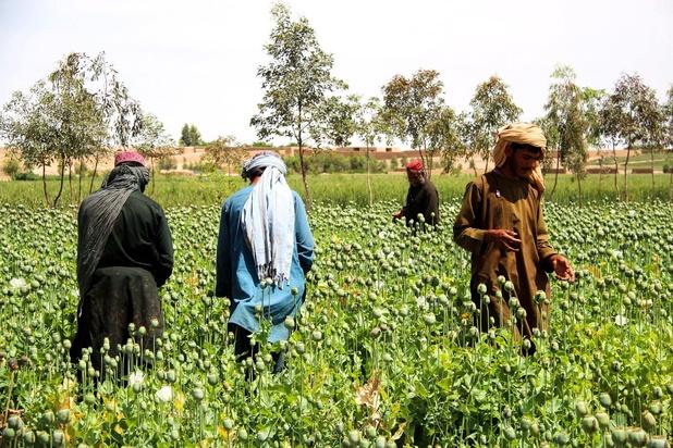 Afghanistan : après la sécheresse, le pavot fleurit à nouveau
