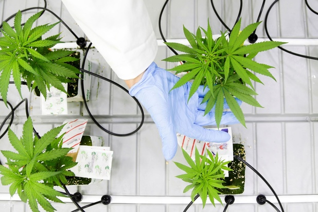 Pijnartsen: 'Medicinale cannabis is niet zonder risico's'
