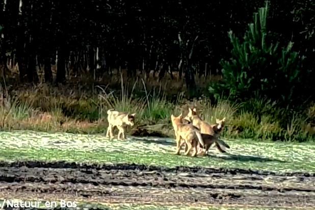Limburgs wolvenpaar had vijf welpen, en niet vier