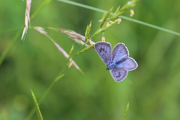 Biodiversité: le déclin des papillons serait lié à la couleur de leurs ailes