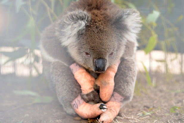 Sterft de koala uit? 5 vragen over de 'ecologische crisis' in Australië