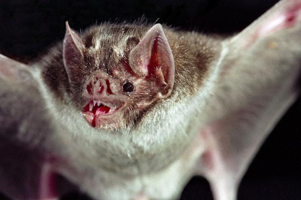 Social distancing in de dierenwereld: zelfs zieke vleermuizen doen het