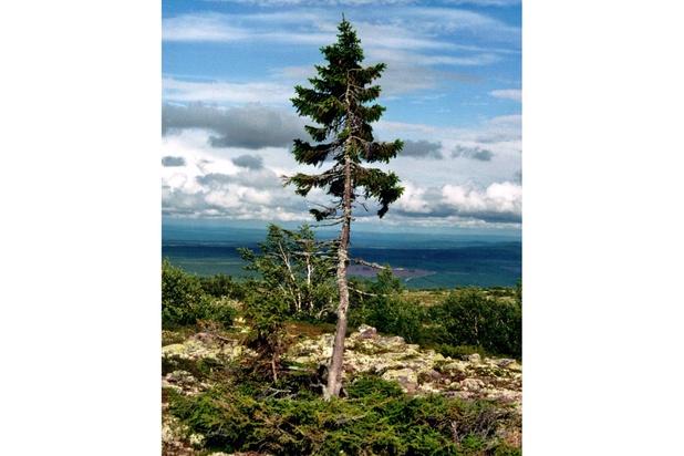 Le plus vieil arbre du monde a 9500 ans