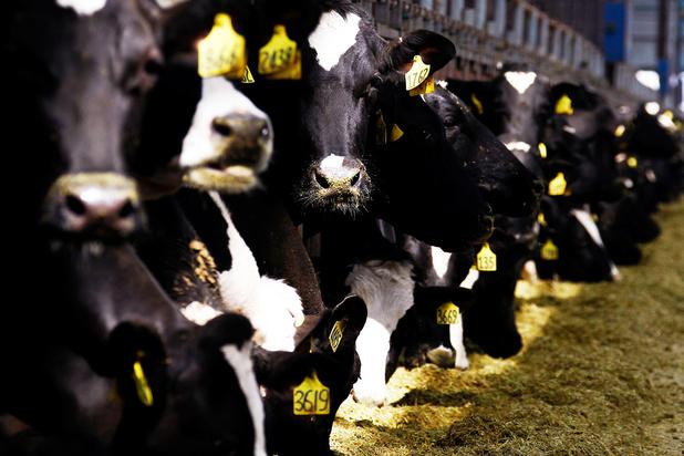 Onderzoek: microben in koeienmaag breken plastic af