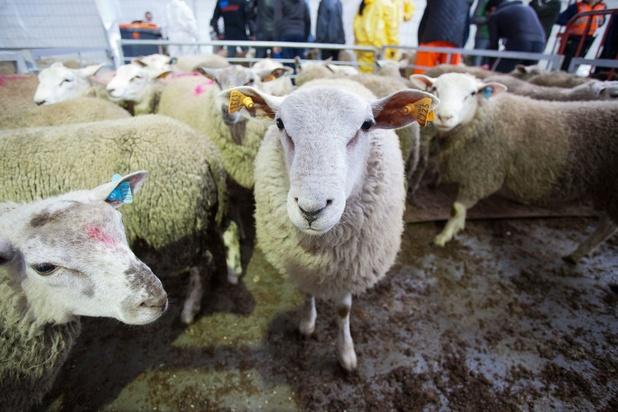 'Kleinschaligheid en bedrijfsfilosofie kunnen bepalend zijn voor dierenwelzijn bij het slachten'